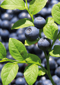 山桑子[參考文獻: Bao L, Yao XS, Yau CC, et al. Protective effects of bilberry (Vaccinium myrtillus L.) extract on restraint stress-induced liver damage in mice. Journal of Agricultural and Food Chemistry. 56: 7803-7, 2008. ]